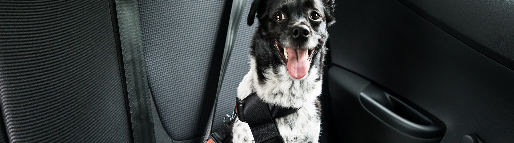 Dog wearing a seat belt in a car