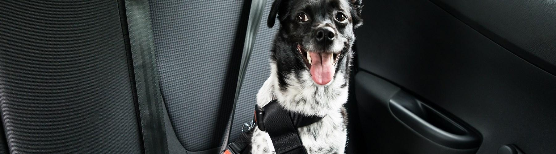 Dog wearing a seat belt in a car