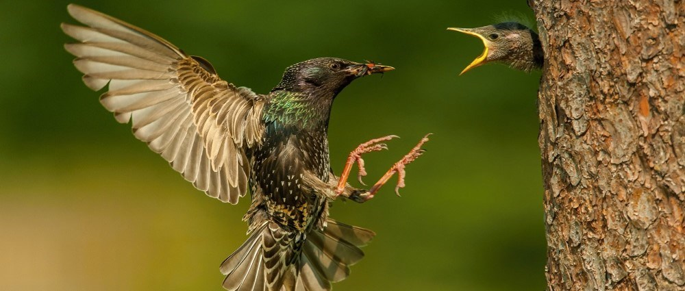 Starling feeding baby starling in tree